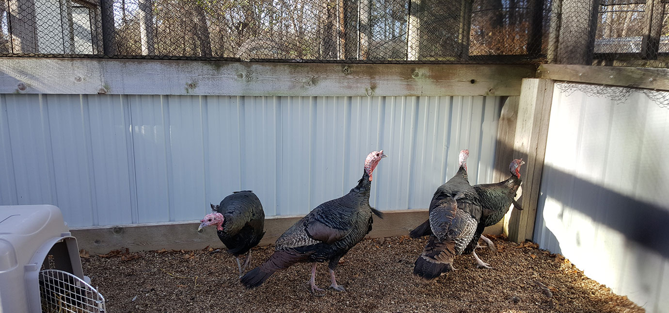 Turkeys exploring