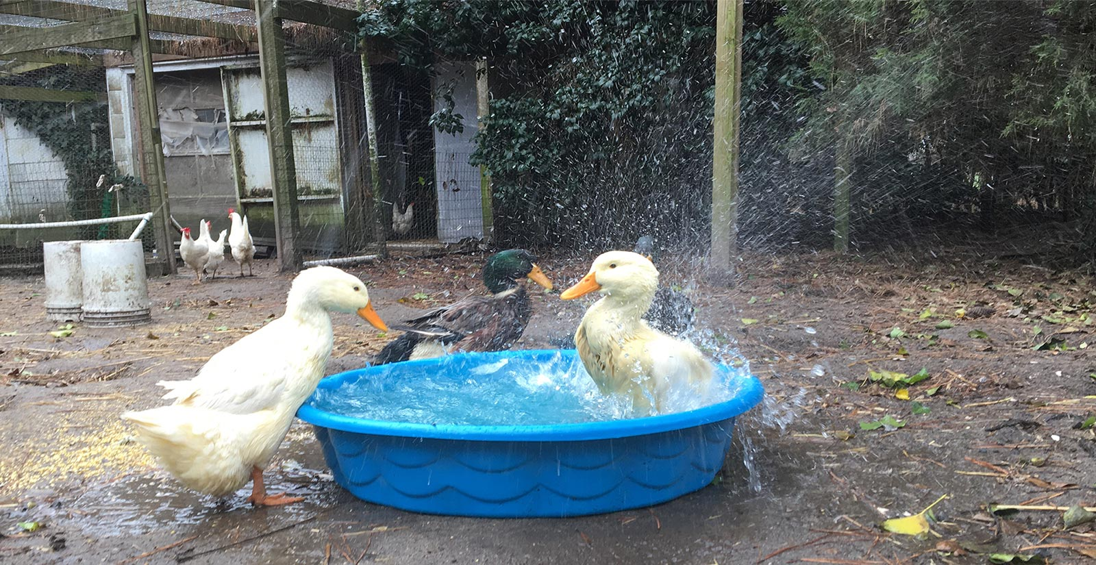 Ducks getting into the pool