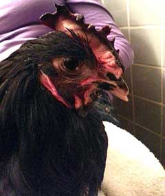 Ezra the rooster