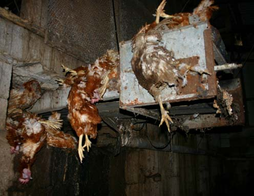 battery farmed chickens The law on battery farming of chickens for egg-laying varies in different countries i don't know where farhansheikh lives, but in the eu the law has changed on this, although i dare say a lot of countries still do not obey it.