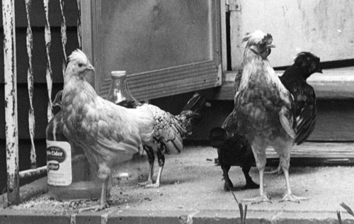 Providing a Good Home for Chickens - United Poultry Concerns