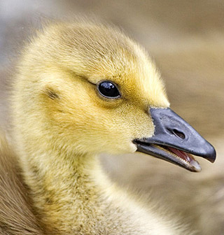 Gosling photo by: Alan D. Wilson
