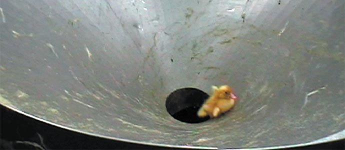 Live duckling sliding down chute into grinder