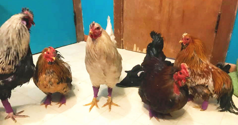 Five chickens standing on the floor of a house