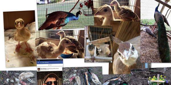 Collage of peacocks.