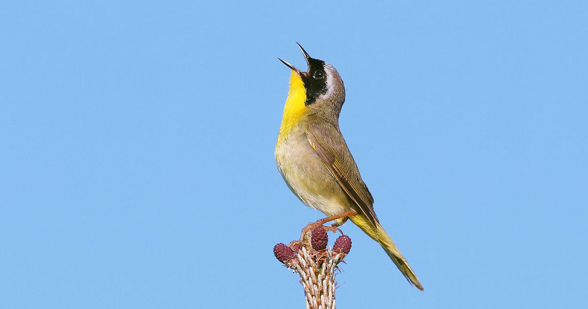 Common Yellowthroat on a branch singing