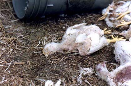 Dead chickens