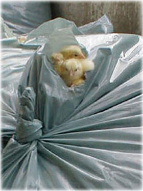 chicks in a garbage bag