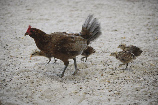 key west hen with chicks