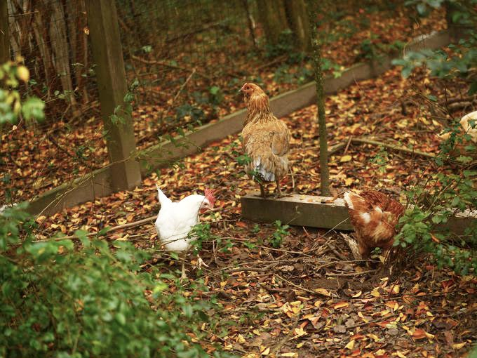 Chickens exploring the grounds