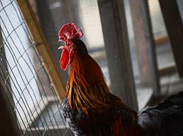 Slideshow of United Poultry Concerns