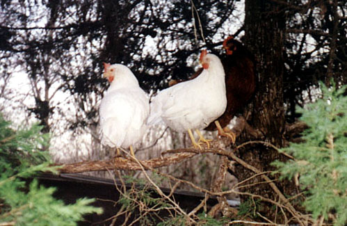 chickens_in_tree (69K)