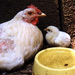 The Social Life of Chickens and the Mental States I Believe They