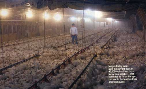 "Commercial Chicken House 42-day wonders,""tom horton/photographeddavid harp"