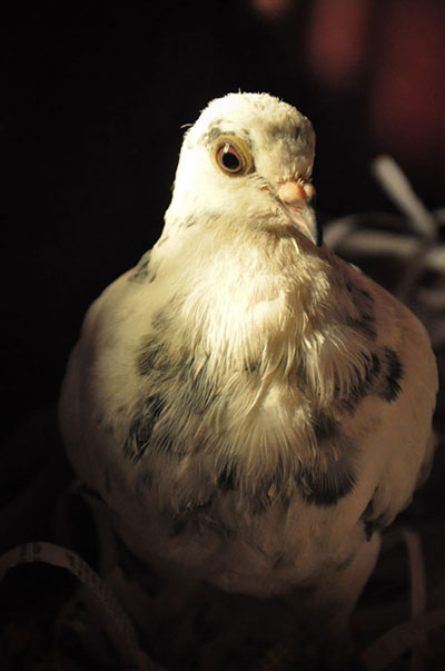 Photo of Frida the pigeon