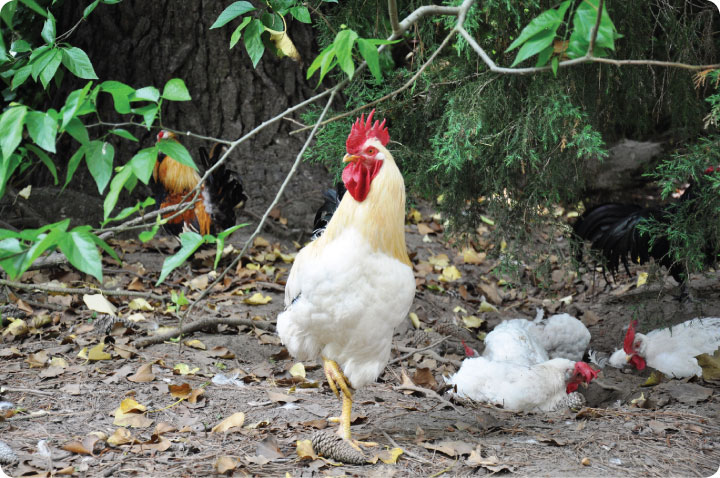 The Social Life of Chickens and the Mental States I Believe