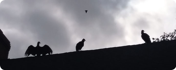 black vultures on our roof
