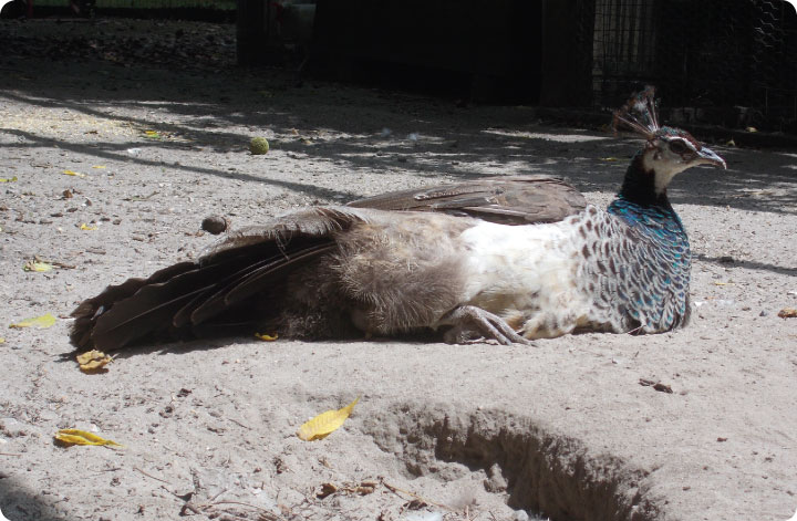 felicity the peahen
