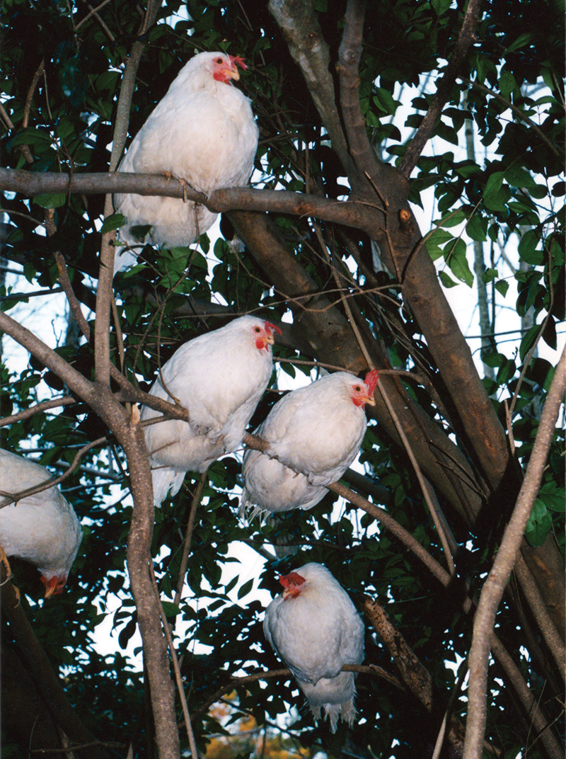 Cypress Hens in Tree