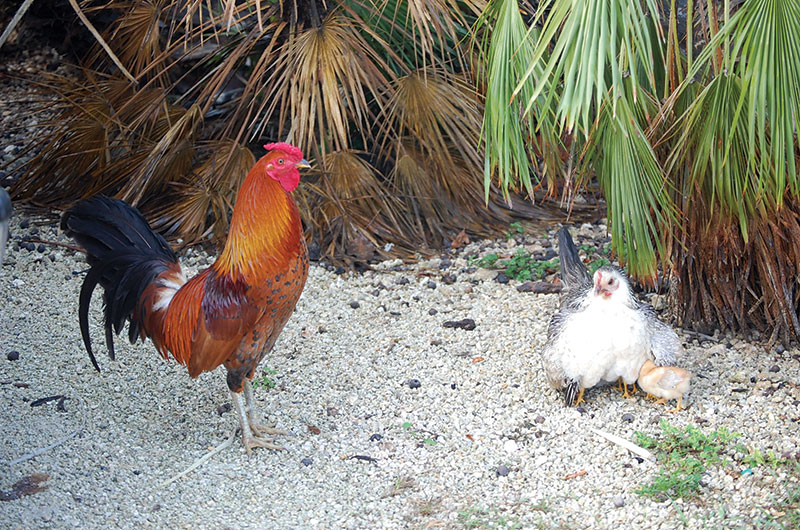 Chicken family near Florida Everglades