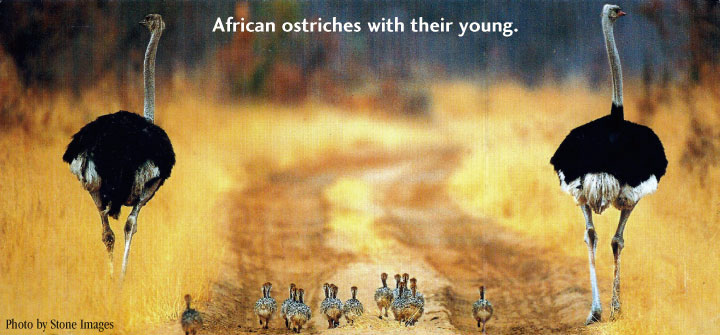 african ostriches with their young