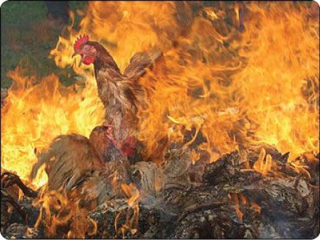 burning chickens