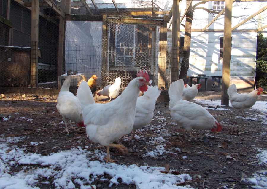 Frosty Sanctuary Chickens