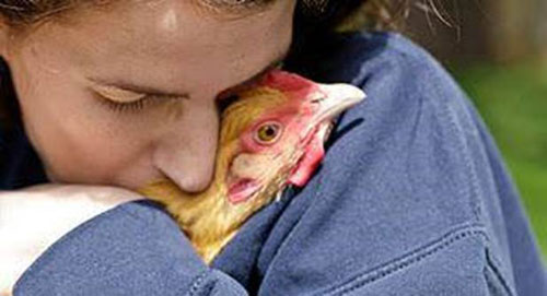 hugging chicken