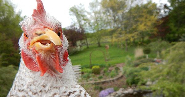 Mavis the hen looking into the camera
