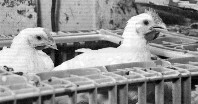 Ritual Poultry Slaughter United Poultry Concerns