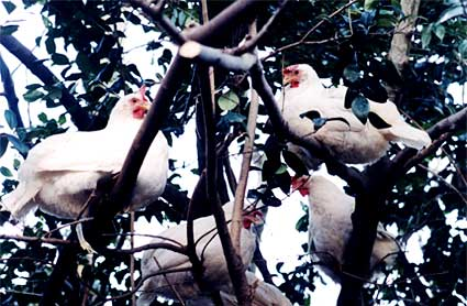 hens in a tree