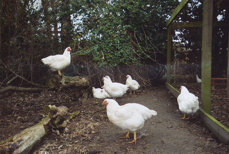 chickens in woods