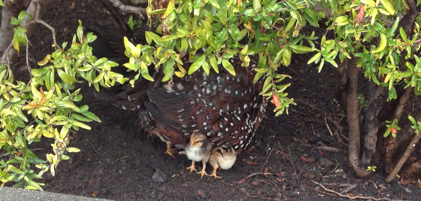 Mama hen with chicks nested under her