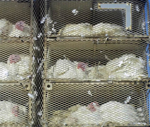 Hens in trapnsport cages