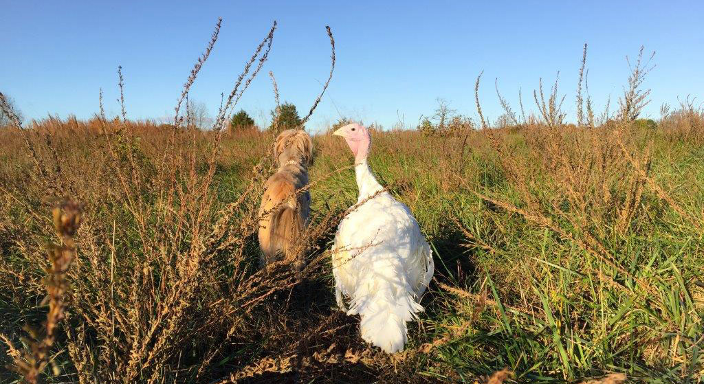 Turkey Blossom stands in the grass with friend looking out over a pasture.