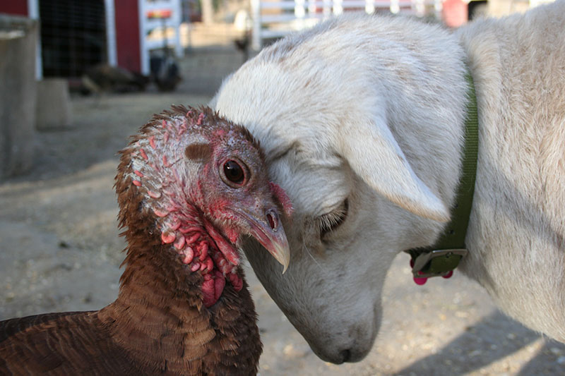 Turkey and lamb pressing foreheads together.