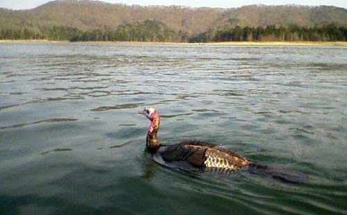 Turkey swimming in a lake
