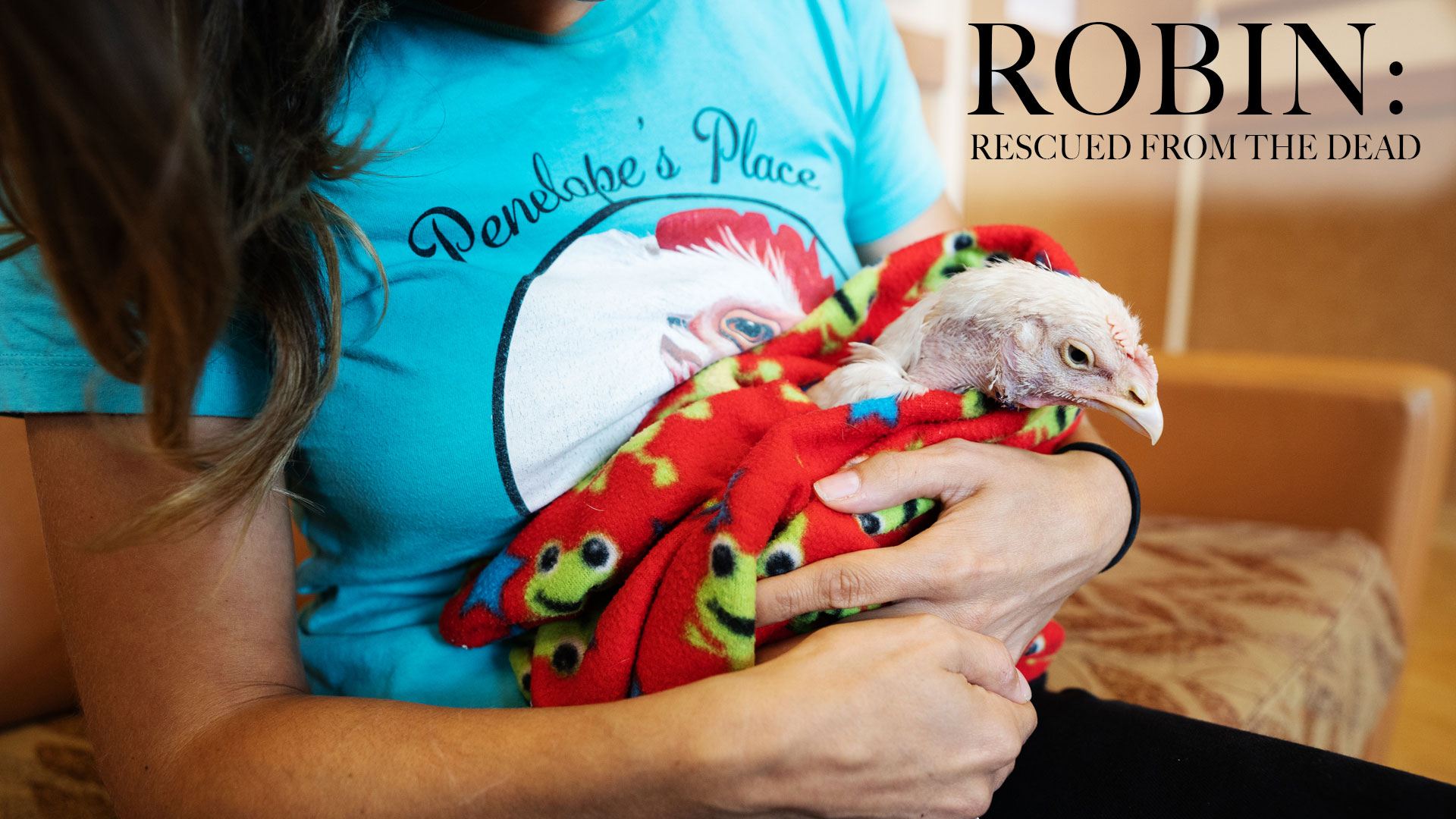 Robin the chicken wrapped in a blanket and craddled