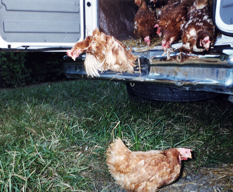 UPC Hens Rescued from Buckeye, Adopted by United Poultry Concerns in September