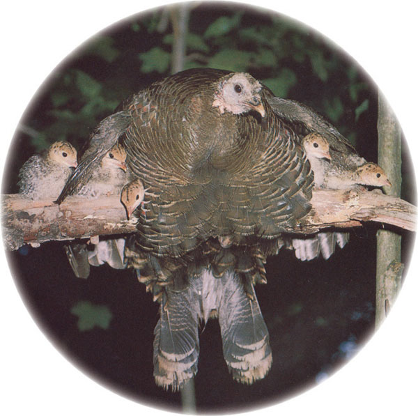 Turkey on a branch with chicks under her wings.