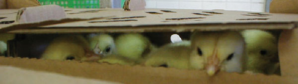 chicks in a carboard box